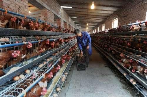 thiết bị báo cúp điện độc lập dùng cho trang trại gà