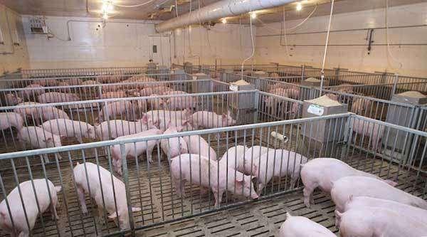báo cúp điện tại cơ sở chăn nuôi heo
